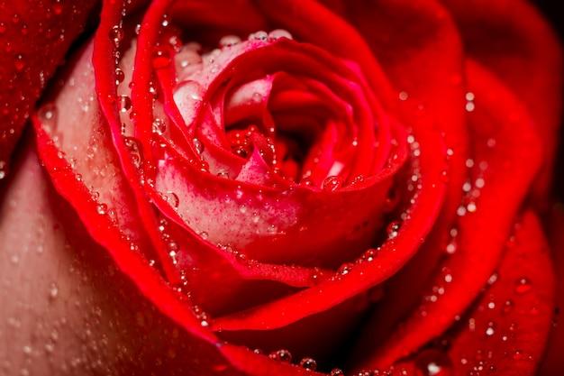 Rosa vermelha com gotas de água macro
