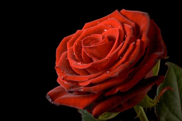 Rosa vermelha com gotas de água no preto