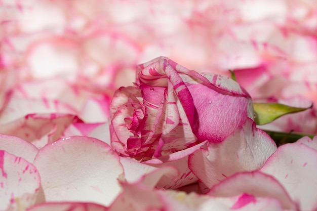 Rosa vermelha e branca em um fundo rosa com pétalas e gotas de água macro