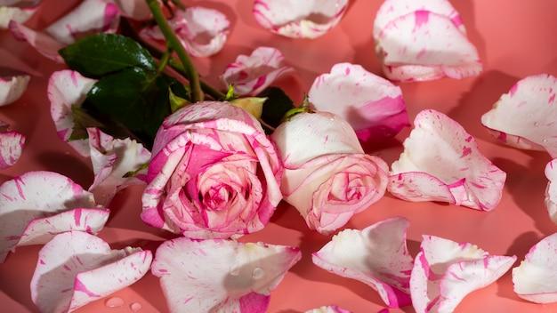 Rosa vermelha e branca em um fundo rosa com pétalas e gotas de água.