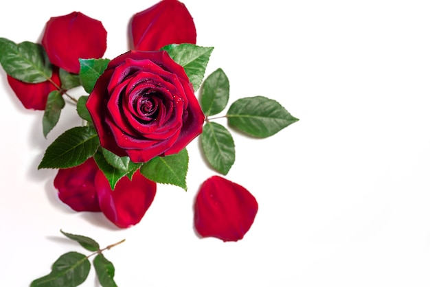 Rosa vermelha e pétalas de rosa isoladas na vista superior de fundo branco gotas de orvalho em uma flor