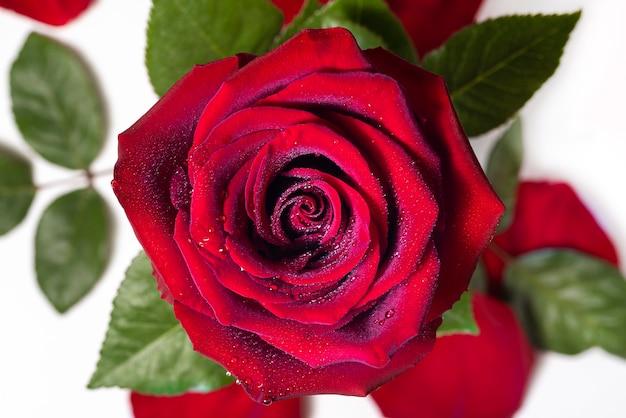 Rosa vermelha e pétalas de rosa isoladas no fundo branco vista superior gotas de orvalho em uma flor foto macro