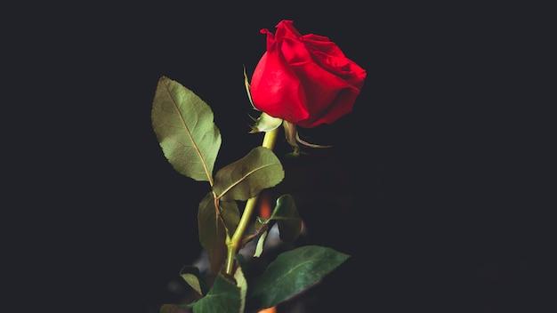 Rosa vermelha em fundo preto