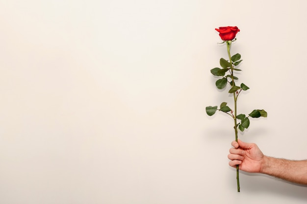 Rosa vermelha em uma haste verde na mão de um homem, um presente para o dia dos namorados