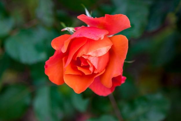 Rosa vermelha explodindo em flor