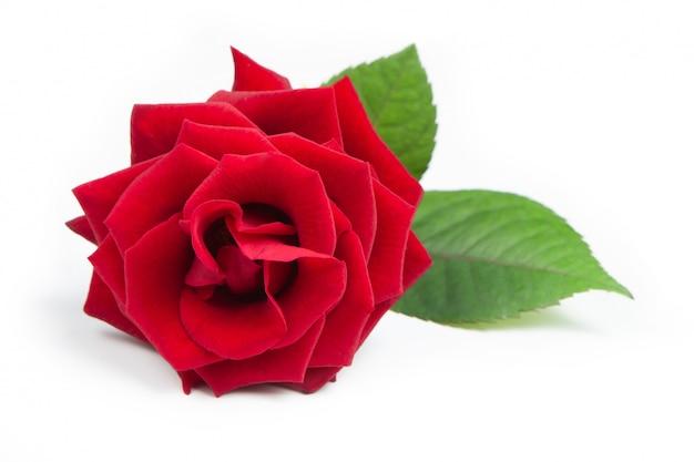 Rosa vermelha fresca em um fundo branco e isolado.
