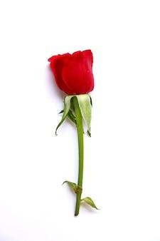 Rosa vermelha isolada em fundo branco
