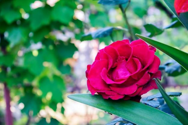 Rosa vermelha natural no jardim