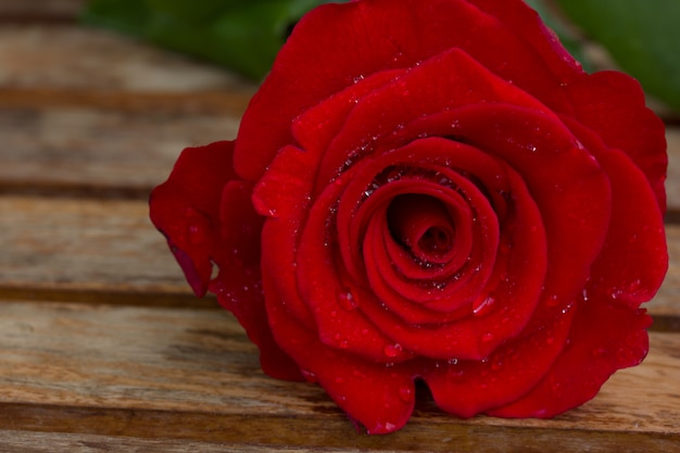Rosa vermelha perfeita