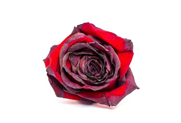 Rosa vermelha seca murcha isolada no branco