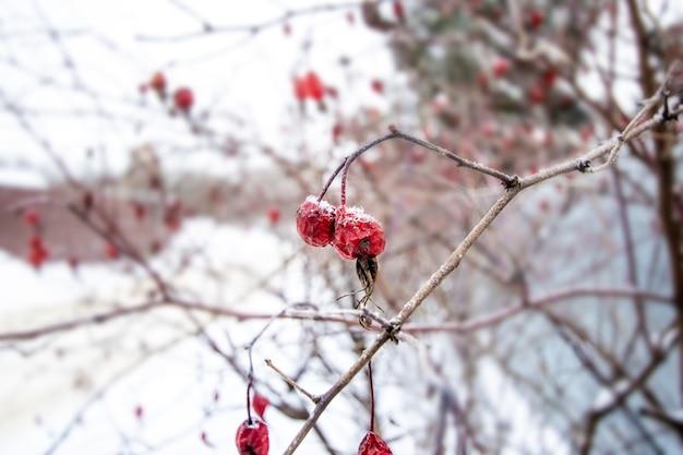 Rosa vermelha sob a neve em uma macro de jardim com fundo desfocado