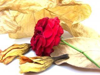 Rosa vermelha, vermelho, textura