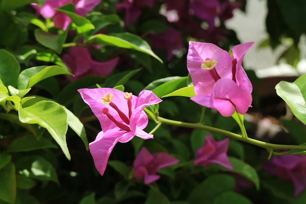 Rosa vibrante buganvília glabra à luz do sol