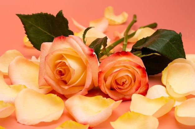 Rosas abertas amarelo-rosa com gotas de água e pétalas em um close-up de fundo rosa