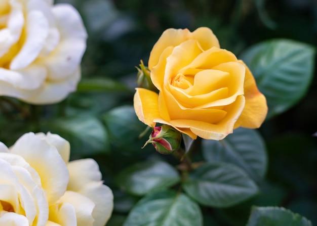 Rosas amarelas perfeitas para o dia das mães