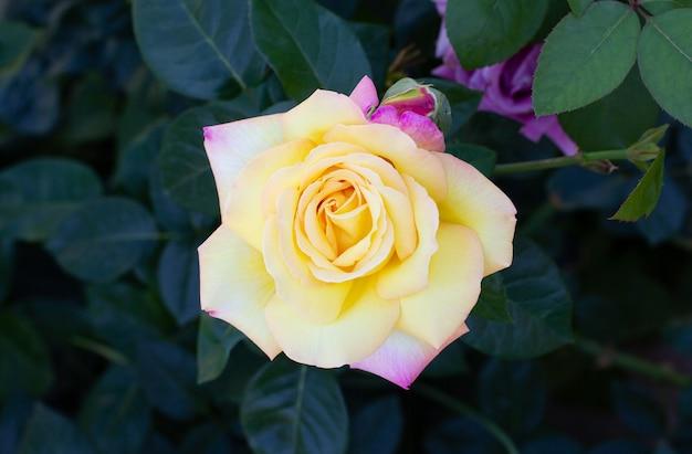 Rosas amarelas, que significam brilhante, alegre e alegre, criam sentimentos calorosos e proporcionam felicidade