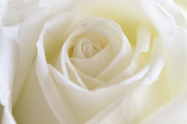 Rosas brancas bonitas no conceito ascendente próximo do macro da vista para apresentar a textura e o teste padrão cor-de-rosa.