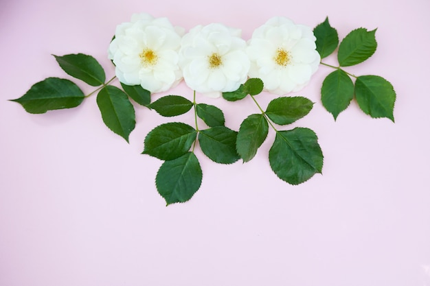 Rosas brancas em rosa pastel