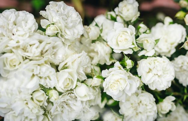 Rosas brancas na natureza com um fundo ensolarado.