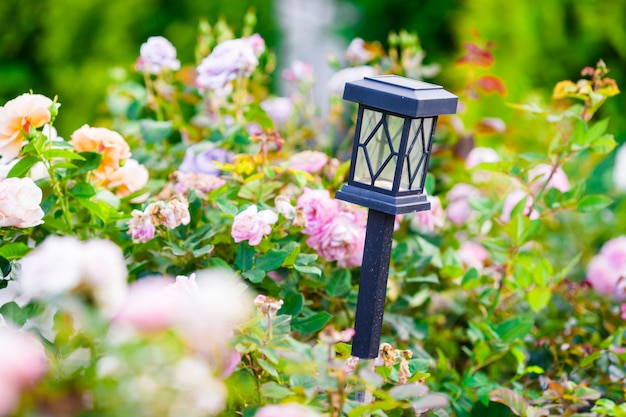 Rosas coloridas desabrocham coloridas frescas no jardim primavera