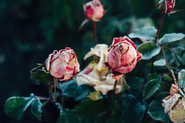 Rosas congeladas depois da geada da noite no outono, parede da natureza