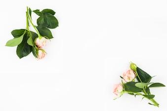 Rosas cor de rosa brancas com broto no canto do fundo branco