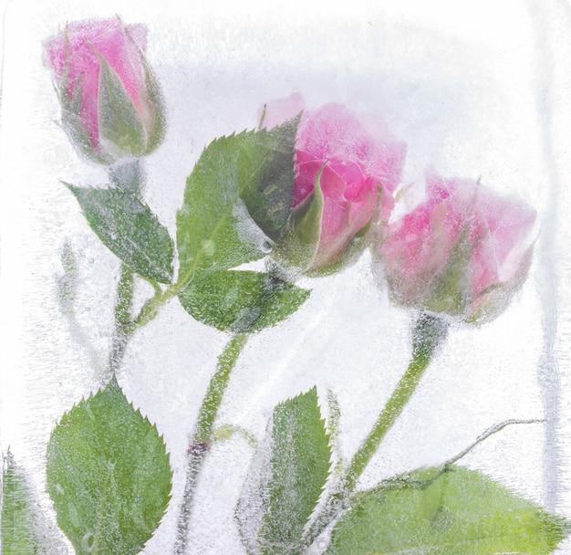 Rosas cor de rosa congeladas no gelo.