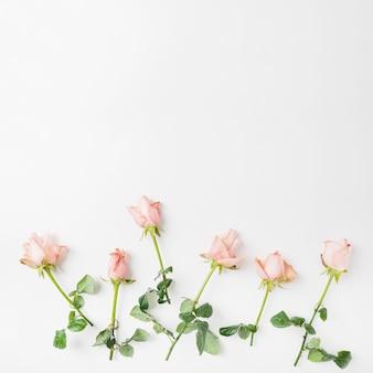 Rosas cor de rosa em fundo branco