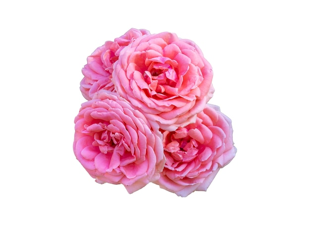 Rosas cor de rosa isoladas no fundo branco. bela natureza morta. tempo de primavera. camada plana, vista superior.