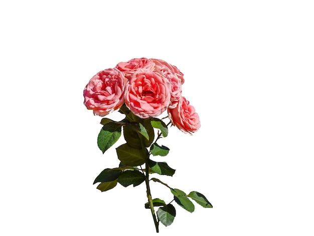 Rosas cor de rosa isoladas no fundo branco. bela natureza morta. tempo de primavera.