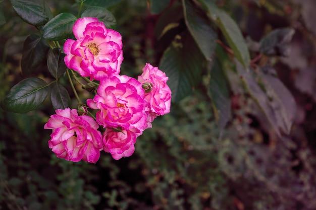 Rosas cor de rosa saturadas brilhantes no jardim. toning.