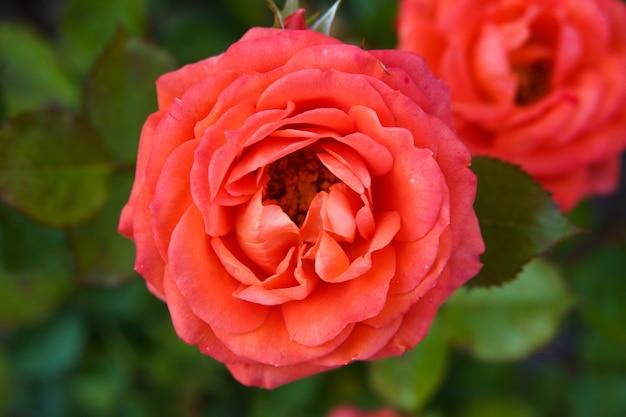 Rosas corais em plena floração em um jardim de rosas