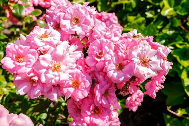 Rosas da espécie medley pink em um jardim botânico.