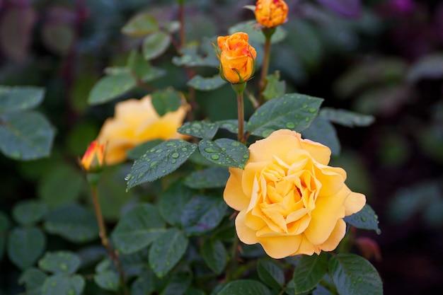 Rosas de alta qualidade em um jardim