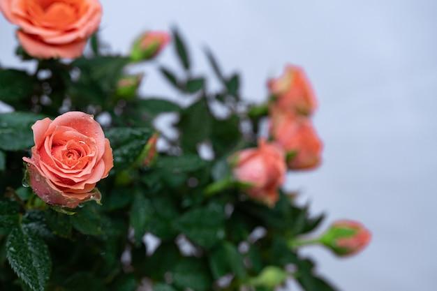 Rosas de bush bonitas e brilhantes no borrão artístico com profundidade de campo rasa.