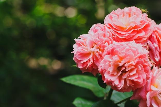 Rosas de chá no jardim
