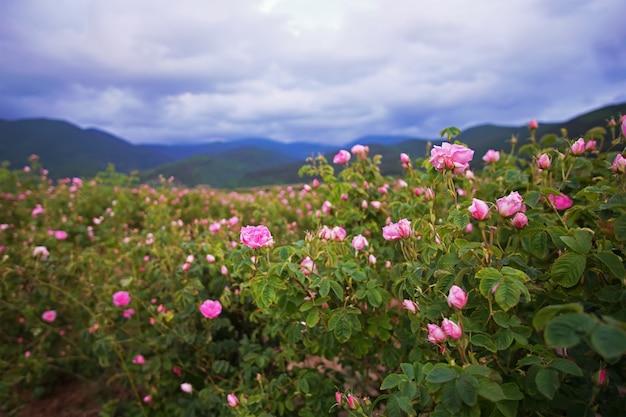Rosas de damasco búlgaras bonitas