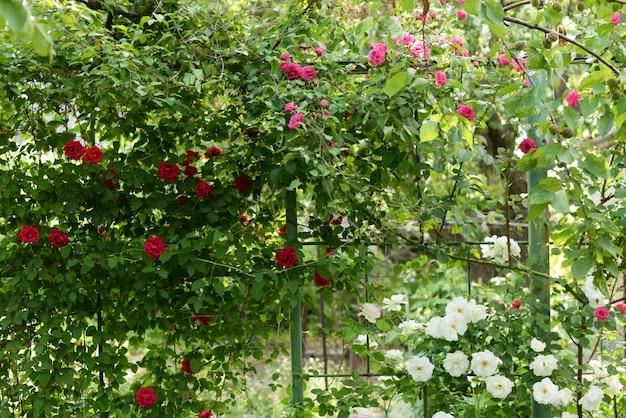 Rosas de escalada cor-de-rosa bonitas na mola no jardim. fundo verde