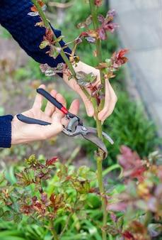 Rosas de poda do jardineiro no jardim. foco seletivo.