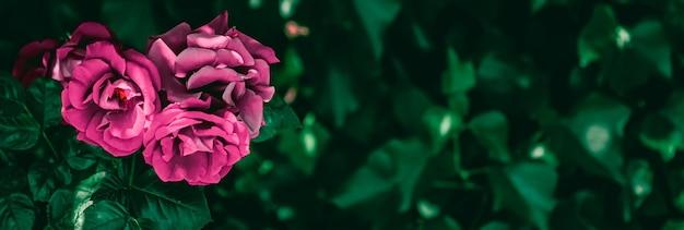 Rosas desabrochando em um lindo jardim de flores como fundo floral