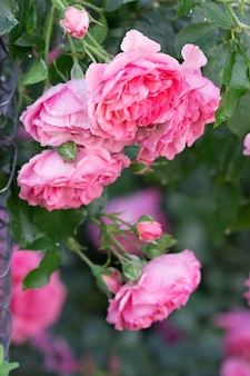 Rosas e botões em flor no jardim da casa. foco seletivo.