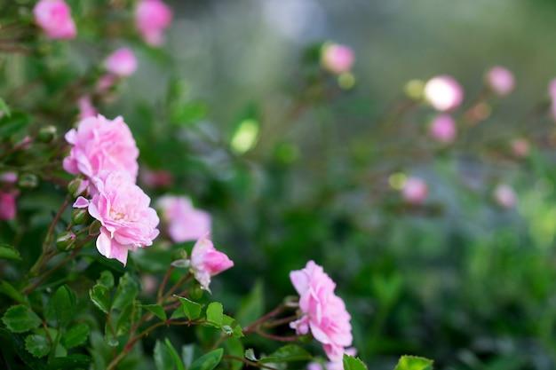 Rosas e botões em flor no jardim da casa.