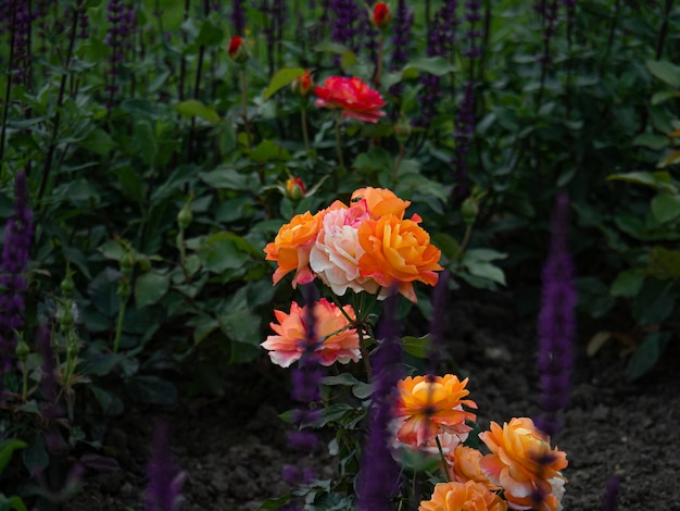 Rosas laranja brilhantes e sálvia lilás