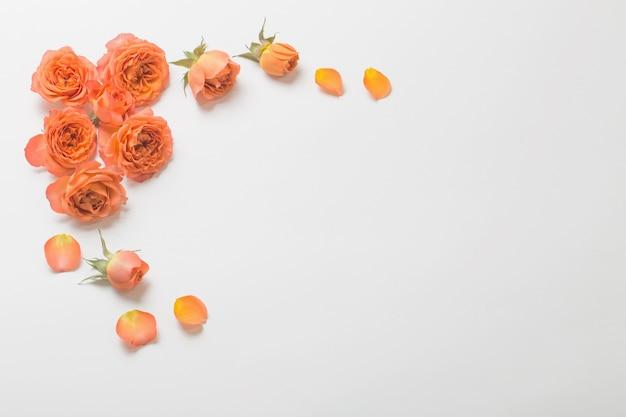 Rosas laranja em fundo branco