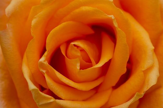 Rosas laranja turva com estampados turva