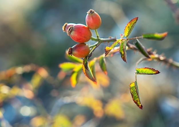 Rosas maduras em galho com folhas