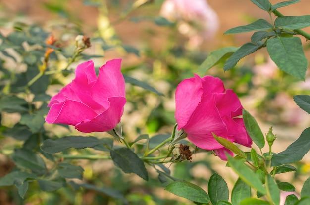 Rosas multi cor no pequeno jardim