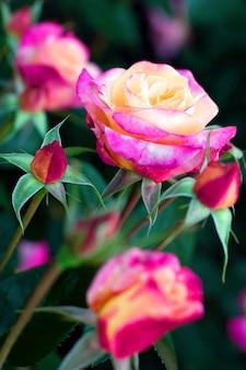 Rosas rosa e amarelas desabrochando em um fundo desfocado