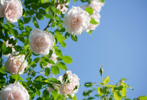 Rosas suavemente cor de rosa contra o céu azul. jardim de rosas em praga