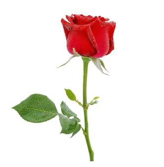 Rosas vermelhas com gotas de água isoladas em branco.
